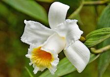 Sobralia chrysostoma 4 shoots 14 x 15 cm Y.P. Big Flowers