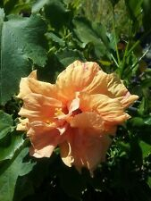 Hibiscus Havanna fully potted in 75mm supergro tube perennial plant
