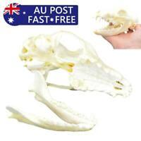 Hot Real Animal Skull Red Fox Skull Genuine Bone Taxidermy Education Collection