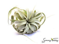 TILLANDSIA AIR PLANTS indoor house plant wedding for present or gift terrarium