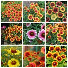 50Pcs Gaillardia Pulchella Flowers Seeds Mix Annual Beautiful Plant Home Garden