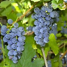 RIVERBANK GRAPE (Vitis Riparia) 25+EXTRA seeds (#190)