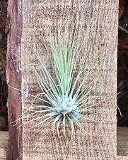 Tillandsia argentea air plant - indoor outdoor houseplant easy care fuzzy