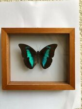 New Listingframed butterfly archaeoprepona meander double glass wooden frame