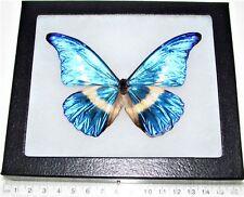 Morpho helena Real Framed Butterfly Blue White Morpho H5