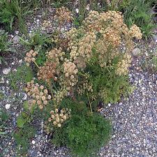 Organic Cnidium Monnier 50 Seeds - Reproductive aid & Aphrodisiac