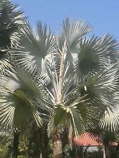 New 10 seeds rare Bismarckia nobilis  palm seeds - Silver - Bismarck Palm