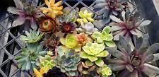 Succulent cuttings LOT OF 10 Rosette pieces ONLY Echeveria  Aeoniums Sempervivum