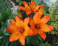 10 Samen Feuer-Lilie - Lilium bulbiferum croceum - winterhart - Lily - seeds