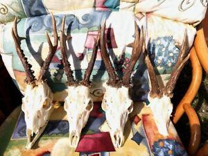Polish big & nice Roe Deer Antlers on skull Taxidermy,