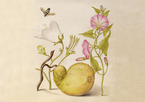 Circa 1592 Flemish Botanical Watercolor Painting Insect Fruit Canvas Print A4