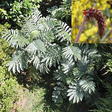 Melianthus major, Giant honey flower bush, Honeyflower, tropical look / 6 seeds