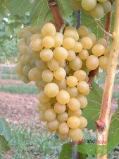 gelbe Traube Glenora robust ertragreich ca 60-80 cm hoch