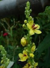 Dark Mullein - Verbascum nigrum - 2400 Seeds - British WildFlower