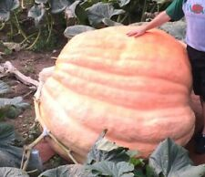 3 Dill's Atlantic giant pumpkin 2307lb genetics seeds 2017