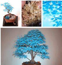25 Samen Japanischer Ahorn Blau Seher Sehr Selten !?!?!? - Bonsai 00245!!