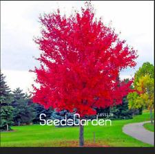 100 Pcs Seeds Red Japanese Maple Beautiful Plant Tree Flores Bonsai Decor Garden