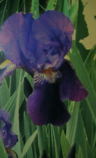 Lot of 12 Old Fashioned Dark Purple Iris Yellow Center Rhizomes Bulbs