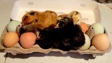 12 Fresh Amp Fertile Chicken Hatching Eggs Assorted Barnyard Mix