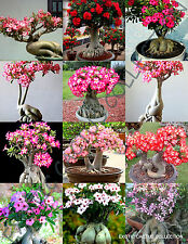 ADENIUM CAUDEX MIX flowering rare exotic desert rose bonsai mixed seed 5 seeds