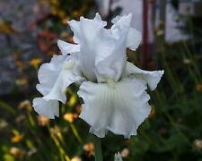 """Schwertlilie / Iris """" Frison Roche """""""