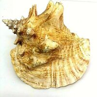 "Medium  Pink Queen Conch Sea Shell Vintage  9"" x 6"""