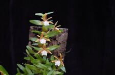 Encylia polybulbon Orchidee Naturform Species  blühstark aufgebunden