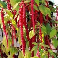 Love Lies Bleeding - Amaranthus - 200 Seeds #3385