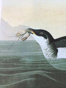 Dovekie Little Auk John James Audubon Print Picture Poster Bird Book Plate 215