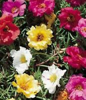 Moss Rose (Portulaca Grandiflora)- Mixed Colors- 200 seeds