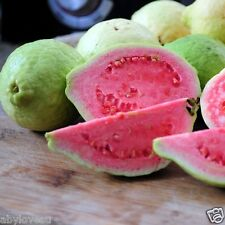 Diabetic Controlling Edible Guava Red Flesh 100 Fresh Seeds With Free Shipping