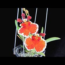 Tolumnia Jairak Firm 'Orange Bull' (Equitant Oncidium - Clone)
