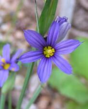 Blue-eyed Grass : Sisyrinchium montanum seeds (2017)
