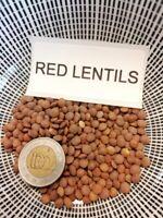 Rote Linsen - Red Lentils - 50+ Samen Saatgut - Gemüsesamen - Seeds ERTRAGREICH