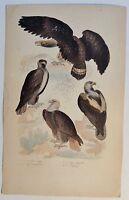 Adler / Le Grand Aigle - antik Kolor-Steindruck/Litho um 1800 - Buffon