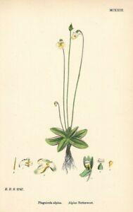 "Antique Hand Colored Plates (1867) – ""Alpine Butterwort; Pinguicula alpina"""