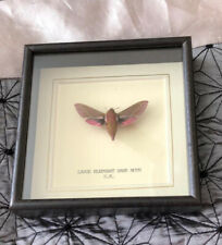 More details for real large elephant hawk moth hand set & framed in uk beautiful gift - taxidermy
