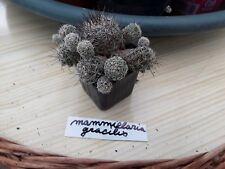 1 mammillaria gracilis cactus  plante exotique