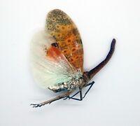 Indonesia Sumatra Jambi Colourful! Penthicodes farinosa Lanternfly