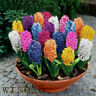 Mixed Color Hyacinthus Orientalis Seeds Home Garden Plant Seed Decor *300pcs