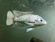 Live Blue Tilapia Frys 10 count With FREE SHIPPING