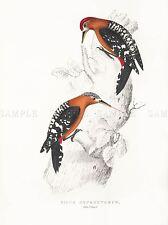 PITTURA UCCELLI Himalaya Gould rufous bellied Woodpecker copia ART PRINT lah574a