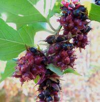 i! KARAMELL-BEERE !i winterharte frostharte Garten Pflanze Obst Strauch Saatgut