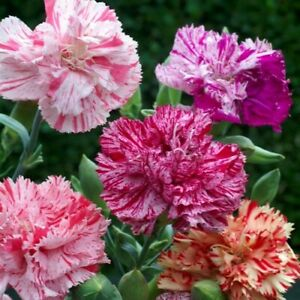 Carnation Chabaud Picotee Mix Flower Seeds (Dianthus Caryophyllus) 50+Seeds