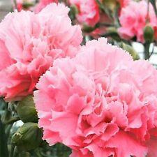 CARNATION FLOWER SEEDS - ROSY PINK - BULK - 250 SEEDS *****