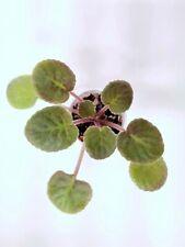 African Violet Adventurous Owen- Starter Plant/Plug