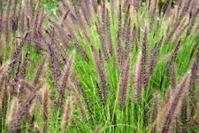 Pennisetum alopecuroides (Chinese Fountain Grass) - 25 seeds.