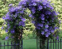 746| 40 pièces plantes grimpantes rares jasmin bonsaï odeur étonnante