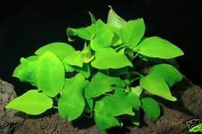 Anubias barteri Golden - Live Tropical Aquarium Plant