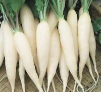 White Icicle Radish Seed - Garden Radishes Root Vegetable Seeds (¼oz to 8oz)
